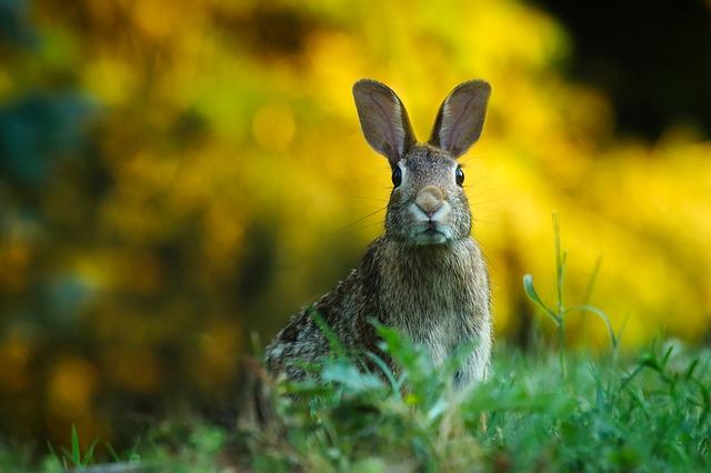 králík v trávě