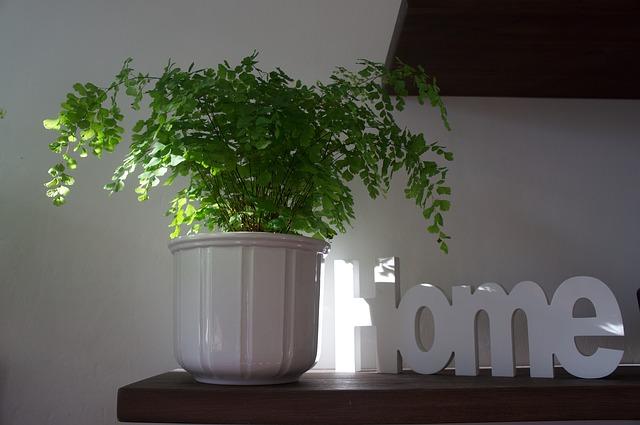 domácí rostlina